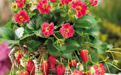 Individual Strawberry Plant